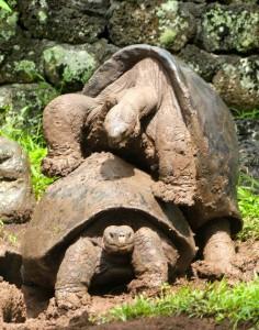 Tortoises mating