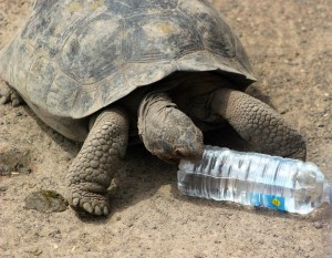 A tortoise trying to eat a water bottle