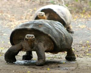 A flat-shelled giant tortoise