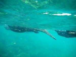 Underwater view of marine iguanas swimming