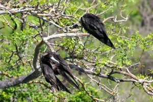 Two of the three nesting juvenile frigate birds