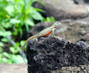 A female lava lizard
